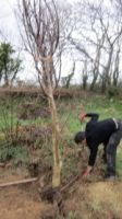10 - Sam Planting Walnut Tree